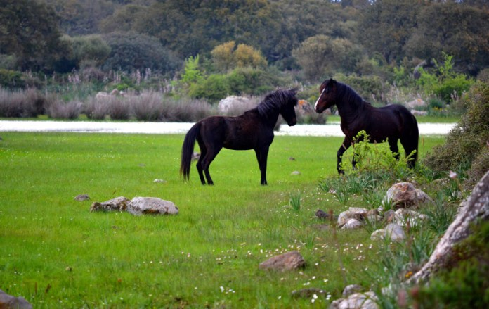 Cavallini selvatici nella Giara