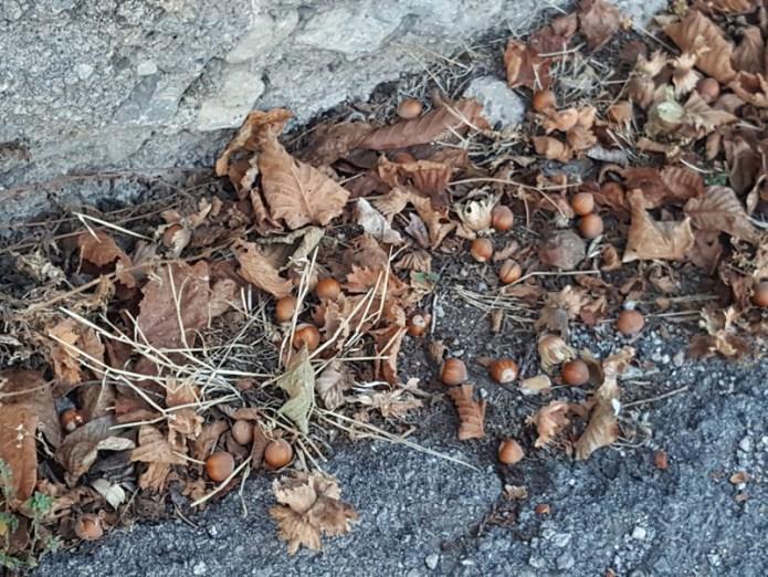 Agosto e la raccolta delle nocciole-Giffoni Sei Casali (Sa)