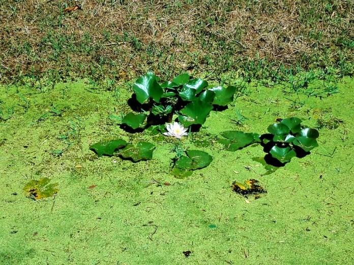 Stagno in fiore