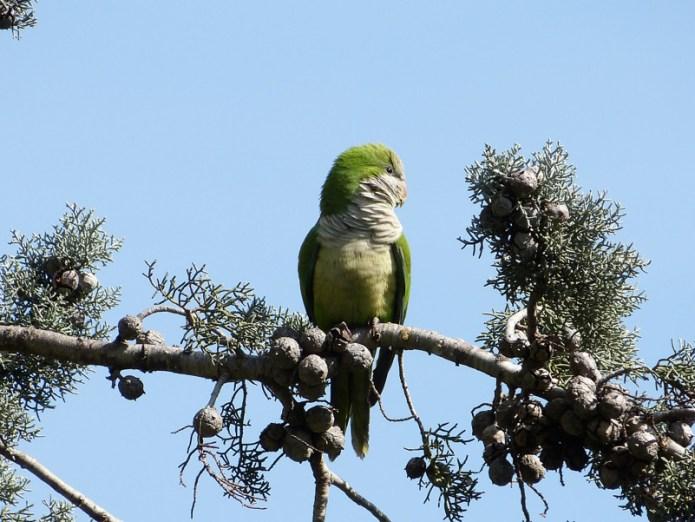 """Un alieno... tutto verde: Myiopsitta monachus, il """"Parrocchetto monaco"""""""