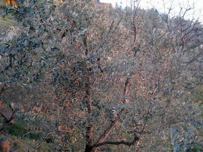 olivi a faltognano