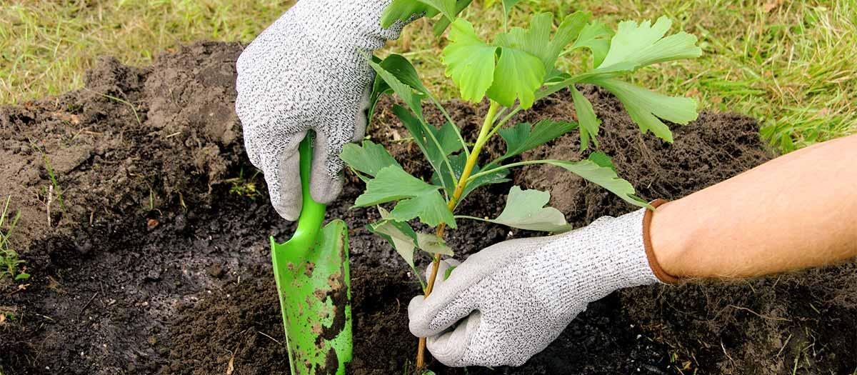 Plantando rboles plantas y materia orgnica mulch