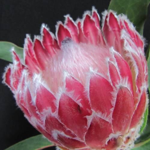 Protea Julia