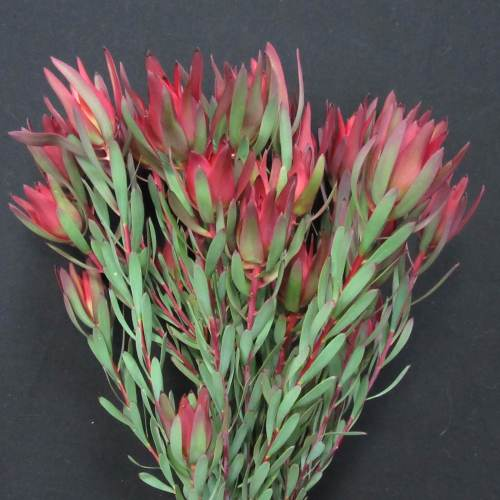Leucadendron Blush Spray 1