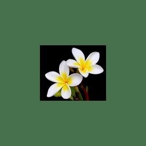 Frangipani Fragrance Oil ( Size A - 1/4 ounce)