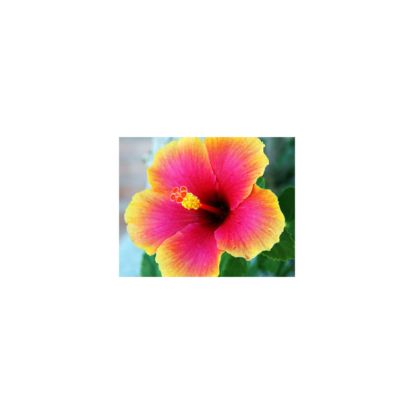 Hibiscus Fragrance Oil ( Size A - 1/4 ounce)