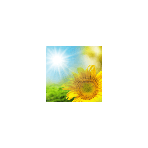Sunflower Fragrance Oil ( Size A - 1/4 ounce)