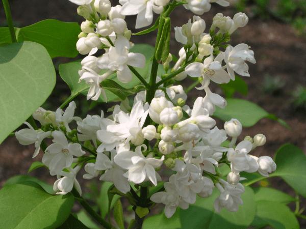 White Lilac Fragrance Oil