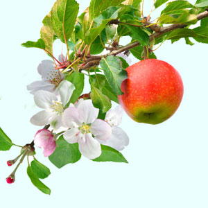 Apple Blossom Fragrance Oil ( Size A - 1/4 ounce)