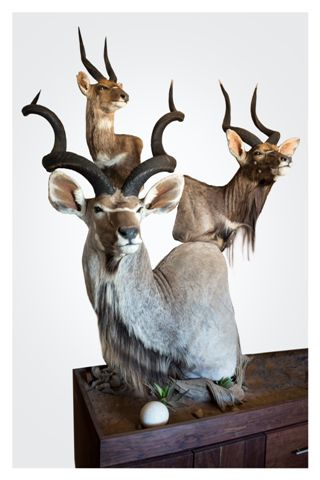Spirit of Africa Taxidermy  Nyala