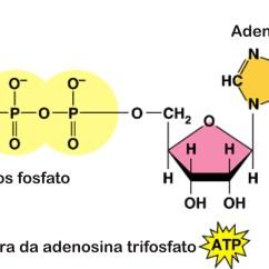 Diagram Of The Atp Molecule 25 Pair 66 Block Wiring Free Engine Image For User