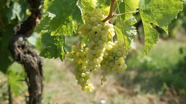 Hablando de vinos y uvas: 'La Semillón'