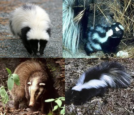 Zorrillos-Mascotas
