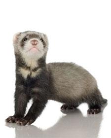 hurones: animales exóticos como mascotas