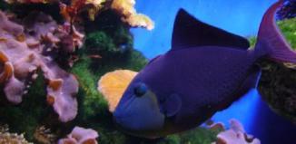 peces Ballesta Negro