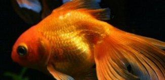 peces dorados
