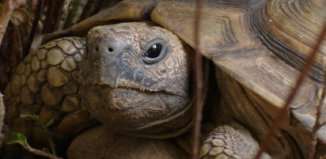 tortuga mascota exotica