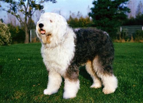 perros-Bobtail