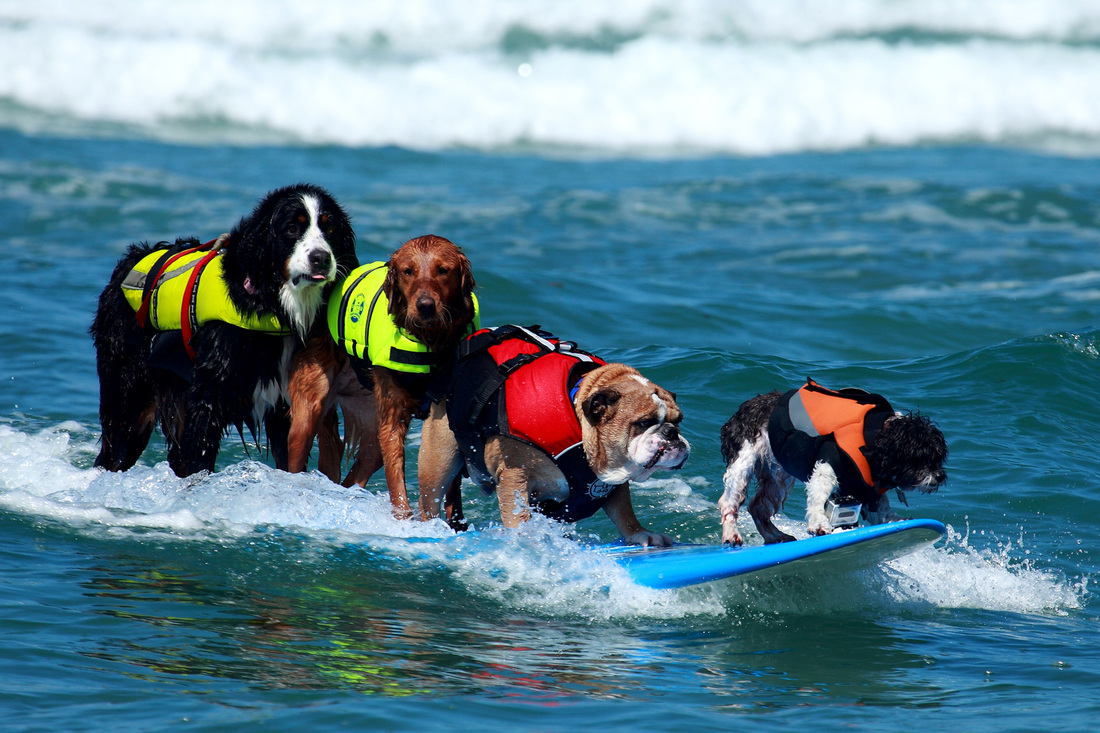 Image result for dogs surfing