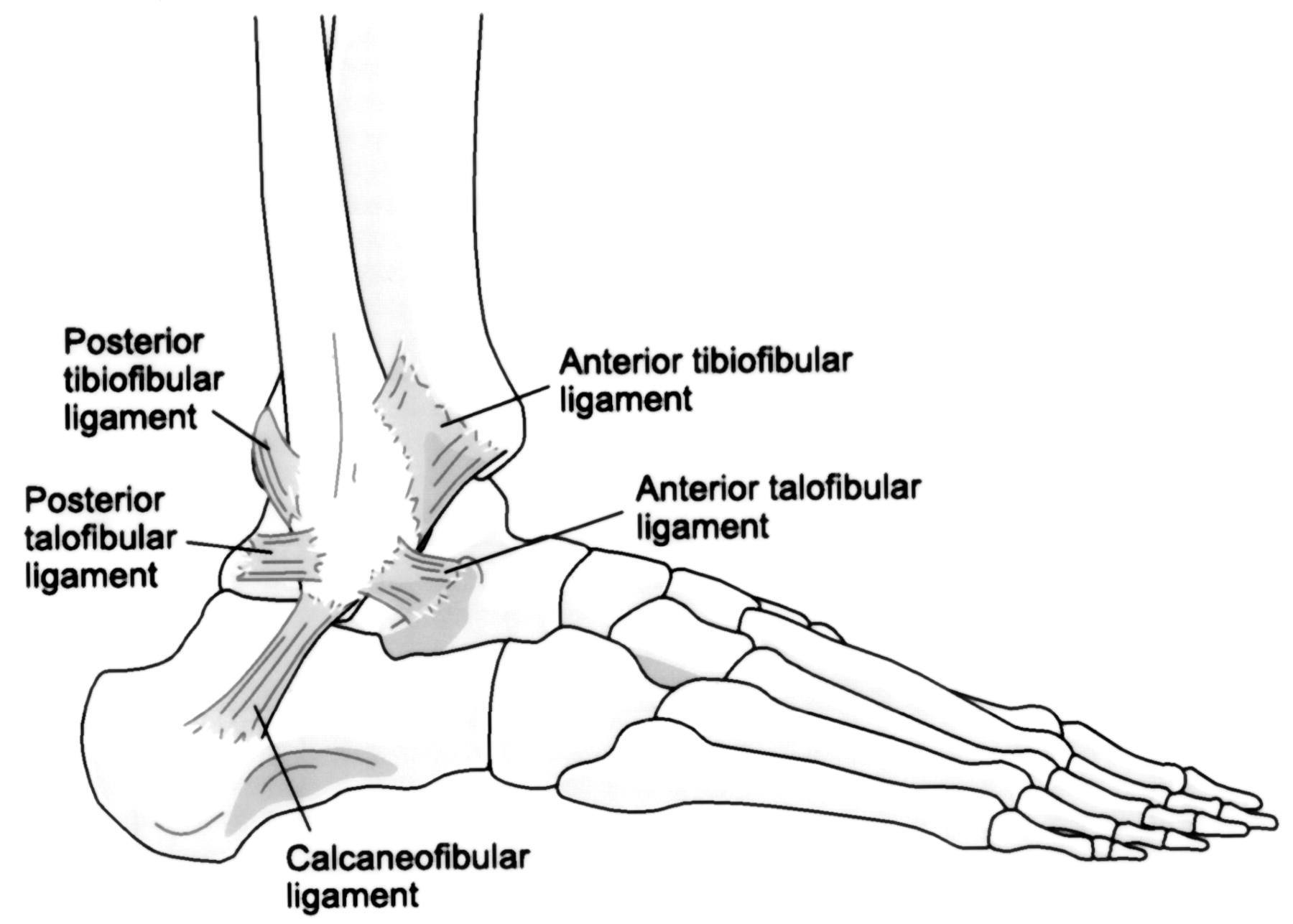 Ankle Bones Diagram Blank