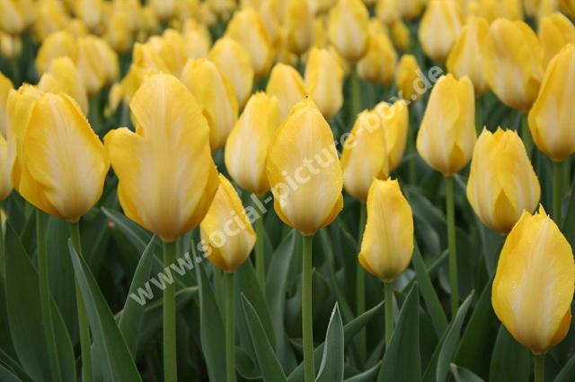 Tulpen - Blumenfeld - Blumen - Gelb - Tulpenfeld - Tulpen aus Amsterdam