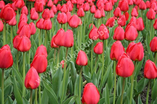 Tulpen - Blumenfeld - Blumen - rot - Tulpenfeld - Tulpen aus Amsterdam