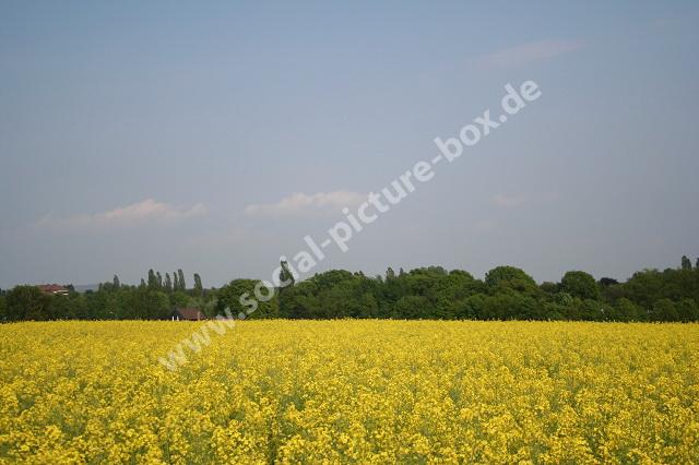 Rapsfeld - gelb - Landschaft