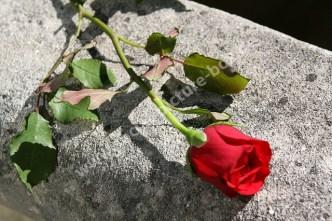 Rose - Liebe - Blumengruß - Rot