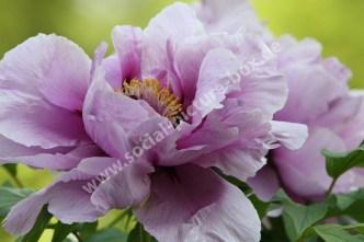 Rosen - Blütenblätter - Blütenstempel - Rosa