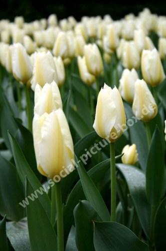 Tulpen - Tulpenfeld - Blüten - Geschlossen - Gelb - Weiß