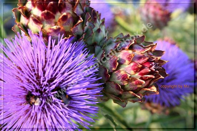 Mariendistel - Lila - Kräuter - Blüten