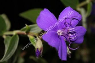 Blumen - Blüten - Lila - Einzelne Blüte