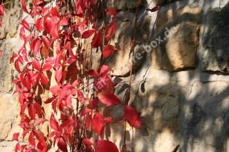 Weinlaub - Rot - Herbst
