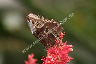 Schmetterling - Braunauge - auf Blüt