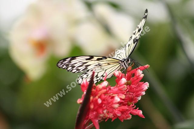 Schmetterling - Schachbrett- auf Blüte
