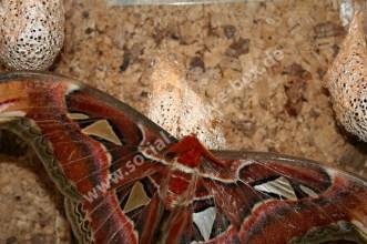 Schmetterling - Atlasspinner - Nachtfalter - Pfauenspinner