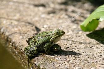 Amphibien - Frösche - Kröten - Wasser