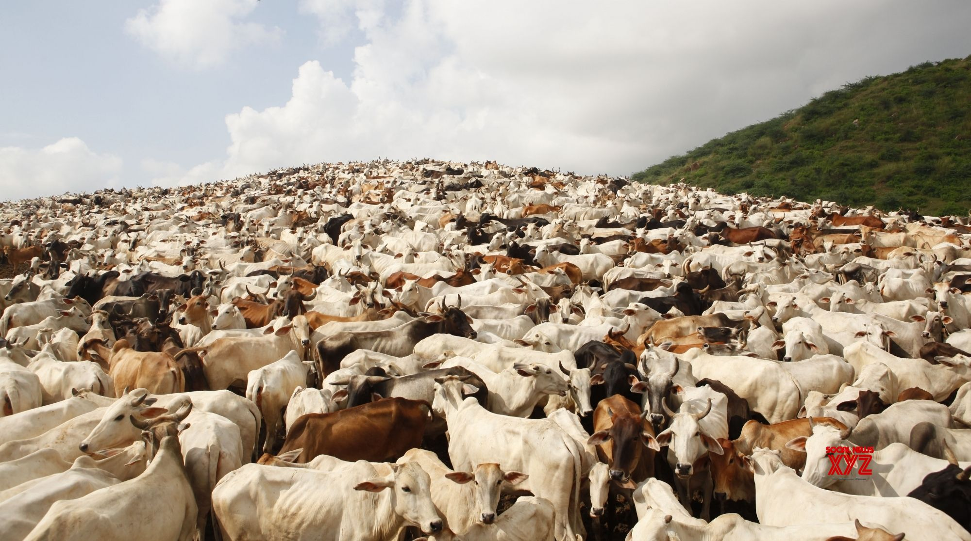 HP collected Rs 8 cr as cow cess, rehabilitated 15,177 cattle