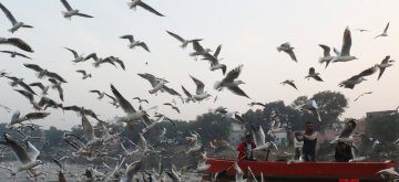 New Delhi: A flock seagull and other migratory birds seen flying over Yamuna river in New Delhi on Dec 25, 2018. (Photo: Bidesh Manna/IANS)
