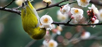 GUIYANG, Jan. 9, 2019 (Xinhua) -- A wild bird rests on a branch of a blossoming plum tree in Guiyang, capital of southwest China's Guizhou Province, on Jan. 9, 2019. (Xinhua/Qin Gang/IANS)