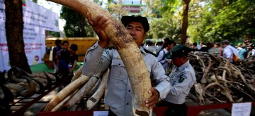 (190303) -- YANGON, March 3, 2019 (Xinhua) -- A forest officer shows an elephant tusk to be destroyed during the destruction ceremony of confiscated elephant ivory and wildlife parts to commemorate World Wildlife Day at Yangon Zoological Garden compound in Yangon, Myanmar, March 3, 2019. (Xinhua/U Aung)