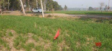Red flags put up by the NHAI in Dera Baba Nanak to acquire land for the proposed highway of the Kartarpur Corridor.