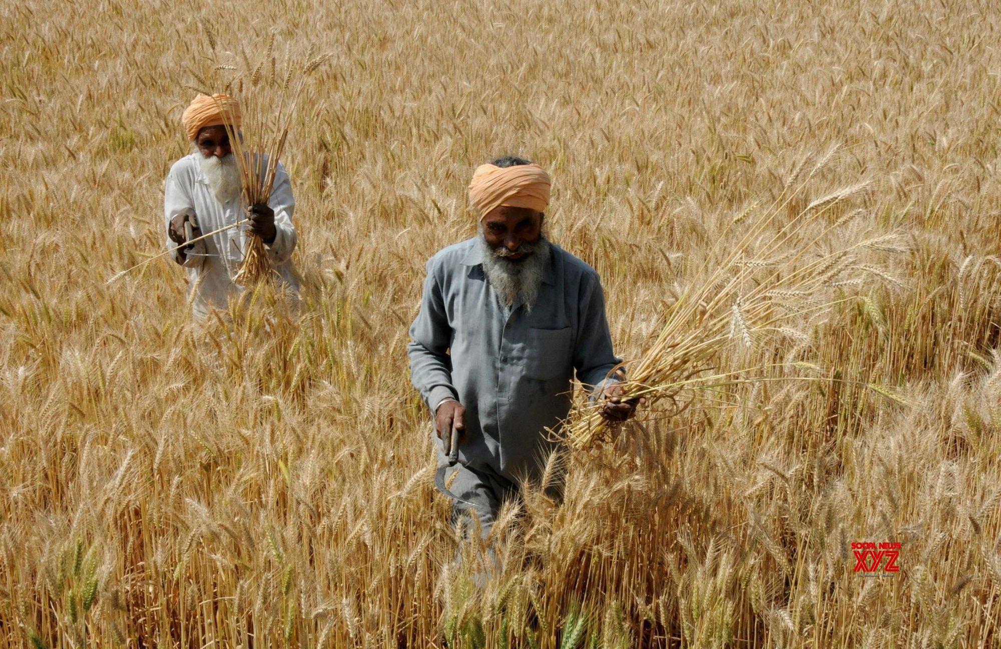 65% more wheat procured in Rabi season than last year