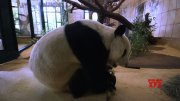 19-yr-old male giant panda arrives at Vienna zoo  (Video)