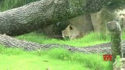 New African lion exhibit opens in New Orleans  (Video)