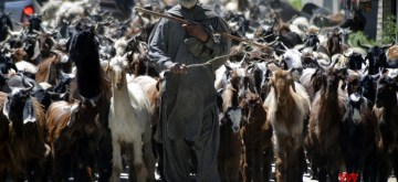 Baramulla: A nomad seen with his livestock, in Jammu and Kashmir's Baramulla, on May 26, 2019. (Photo: IANS)
