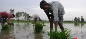 Amritsar: Farmers busy transplanting paddy saplings in a field on the outskirts of Amritsar on June 23, 2018. The total area sown under kharif crop as on June 22 stood at 115.9 lakh hectares as against 128.35 lakh hectares at this time last year. According to Agriculture Ministry rice has been sown in 10.67 lakh hectares, pulses in 5.91 lakh hectares, coarse cereals in 16.69 lakh hectares, sugarcane in 50.01 lakh hectares, oil seeds in 5.03 lakh hectares, jute and mesta in 6.91 lakh hectares and cotton in 20.68 lakh hectares. (Photo: IANS)