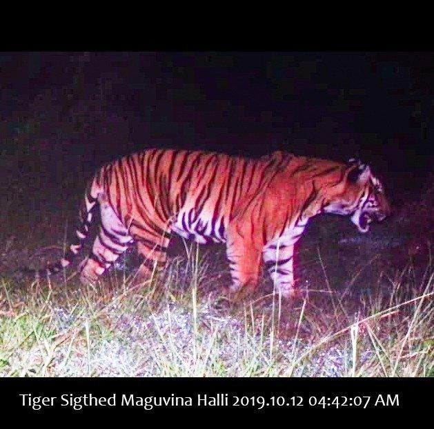 Bandipur: Elusive man - eater tiger 'caught' on camera in Karnataka #Gallery