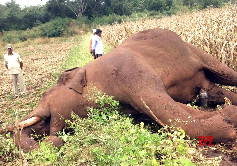 Kadur (Karnataka): Elephants electrocuted #Gallery