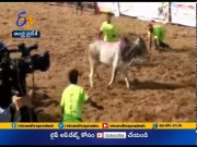 Jallikattu events in Tamil Nadu continue  (Video)